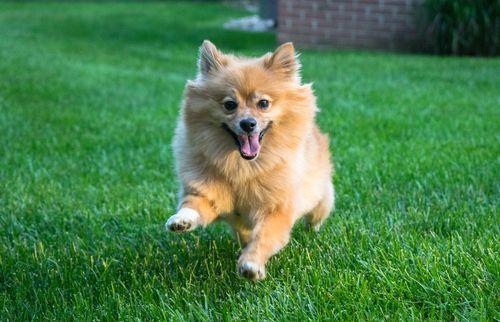 人工芝で遊ぶペットの犬